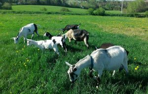 Wild Orchid Farm - Goats